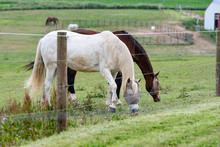 Horses Grazing With Fly Masks