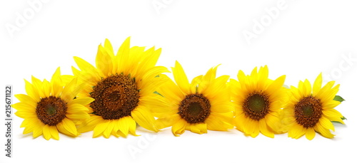 Sunflower lot isolated on white background, clipping path