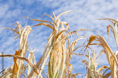 Valokuva Dürre Duerre Trocken Mais 2018 Trockenpirode Sommer Hitze Bauern