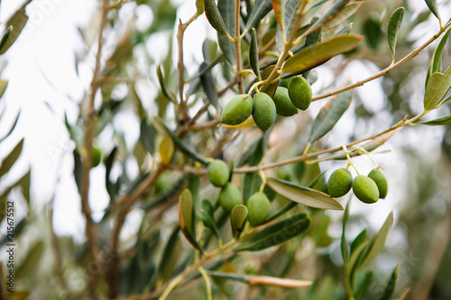 Fotobehang Olijfboom Green olive trees on farm