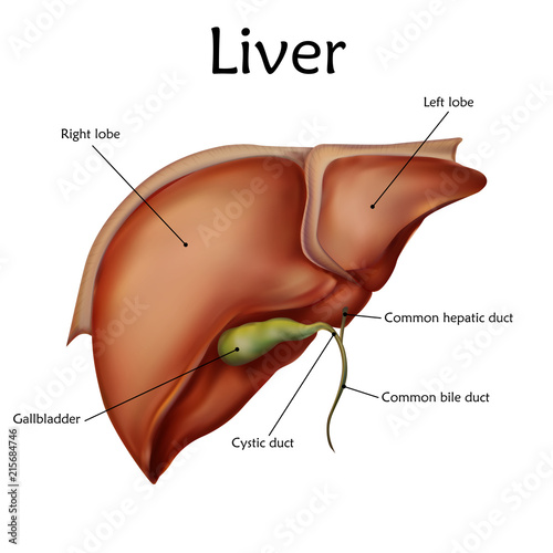 Human liver with a description. Anatomy vector realistic ...
