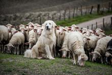 Shepherd Dog Guarding The Shee...