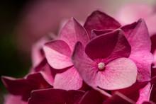 Dark Vibrant Pink Hydrangea Flower