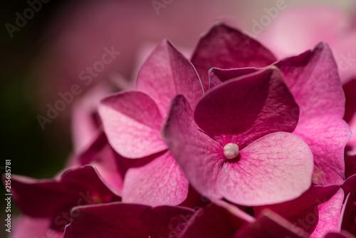 Fototapety różowe ciemno-rozowe-kwiaty