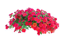 Petunia Flowers Isolated On Wh...