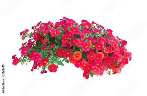 Obraz na plátně petunia flowers isolated on white background with clipping path included
