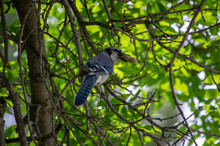 Blue Jay Peanut Tree