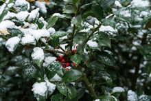 Green Plant With Red Berries C...