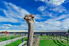 Ostrich In A Farm With Green Grass