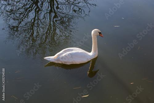Fotobehang Zwaan Single swan lives in the pond