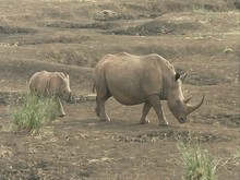 White Rhino Calf Following It's Mother