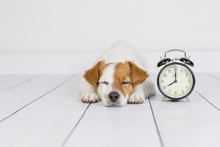 Cute White Small Dog Lying On The Floor And Sleeping. Alarm Clock With 8 Am Besides. Wake Up And Morning Concept. Pets Indoors