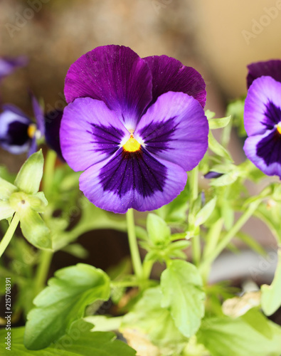 Colorful blossoming viola from close-up.
