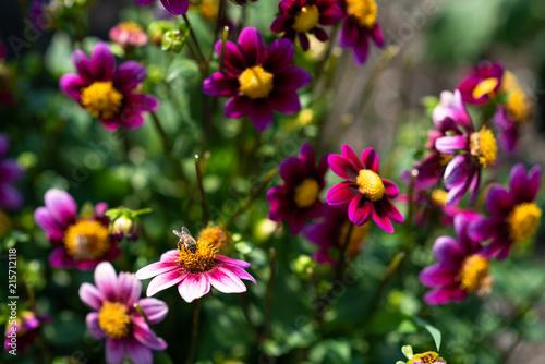 Foto Bee pollinating a pink dahlia in a dahlia garden