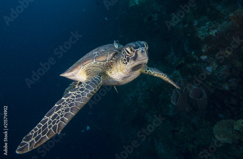 Sea turtle with remora