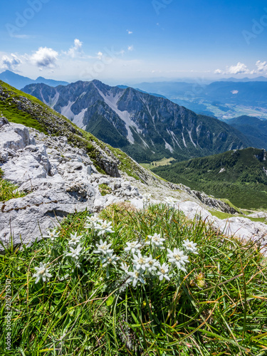 Edelweiss on a meadow on top of Vrtaca mountain with a view Begunjščica mountain in the summer, Slovenia