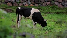Cow In The Sacred Valley, Peru