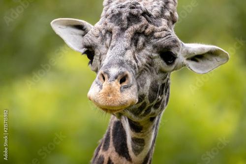 Foto op Aluminium Giraffe Giraffe