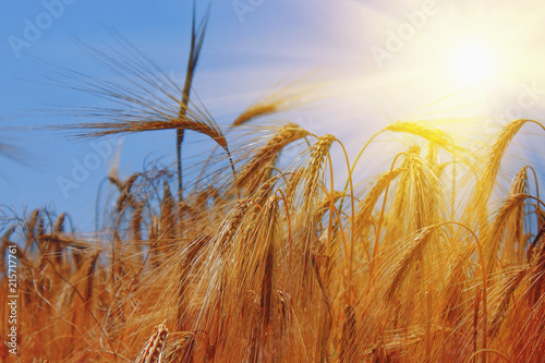 Fotobehang Aan het plafond Barley field background against blue sky and sunlight. Bottom view. Agriculture, agronomy, industry concept.
