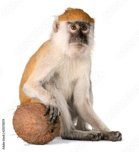 Foto op Aluminium Aap Monkey Sitting With Coconut - Isolated