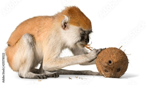 Cute monkey with coconut isolated on white background