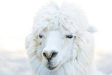 Portrait Photo Of Alpaca