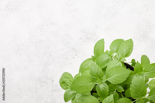 Slika na platnu Fresh green basil leaves close up on white stone background, copy space