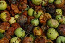 Natural Vegetative Texture Of Green And Brown Rotten Apples In A Heap