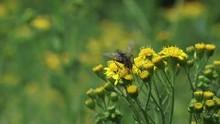 Blowfly On Ragwort ( Jacobaea ...