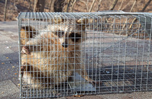 Raccoon, Procyon Lotor, Caught...