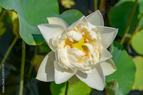 Papiers peints Narcisse flower, floral, nature