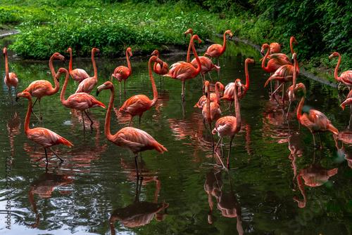 Spoed Fotobehang Flamingo Bright Orange and Pink Plumage on a Flock of Flamingos in a Lake