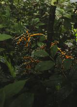 Costa Rica Bamboo Berries In A Rainforest In Near Arenal