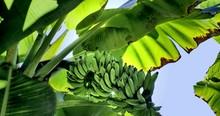 Banana Tree, Glimmering Sun HDR Tracking Crane Shot Time Lapse 4k UHD