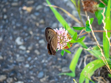 Brown Wood Nymph Butterfly On The Roadside 3