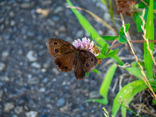 Brown Wood Nymph Butterfly On The Roadside 4