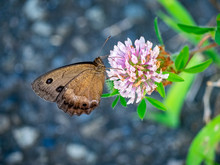 Brown Wood Nymph Butterfly On The Roadside 6