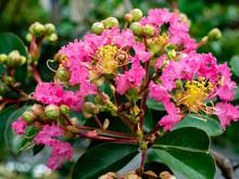 Macro Crape Myrtle Flowers
