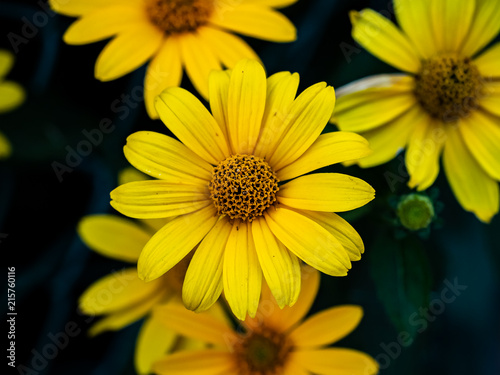 Fotografering  newly opened back eyed susan flowers.