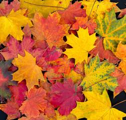 Naklejka na ściany i meble Colorful autumn leaves background. Bright maple leaves