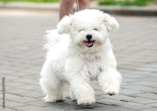 Canvas Print bichon frise puppy