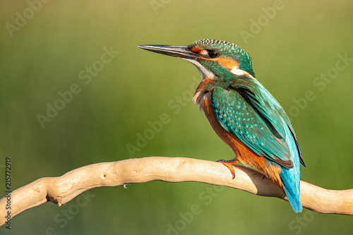 Photo Common Kingfisher (Alcedo atthis) sitting on a beautiful background