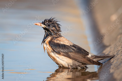 Deurstickers Vogel Wet rosy Starling (Sturnus roseus) stands in the water and looks at the camera