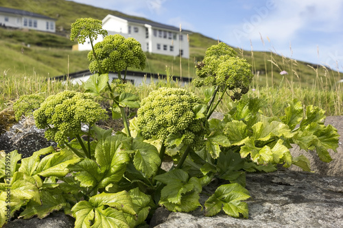Fotografiet  Angelica archangelica is an typical herbal plant