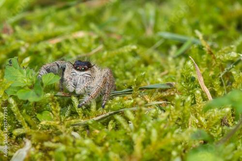 Plakat Zakończenie Skokowy pająk, Skokowy pająk Borneo, Skokowy pająk, Piękny Skokowy pająk