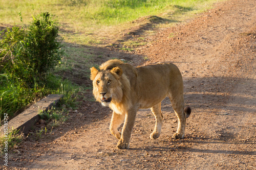 Zdjęcie XXL Męski lwa odprowadzenie na drodze gruntowej