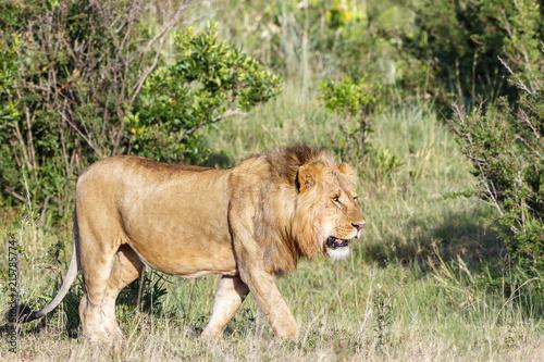 Zdjęcie XXL Zwiedzanie wielkiego męskiego Lwa na sawannie