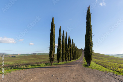 Foto  Cypress trees in a row