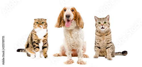 Poster Chien Russian Spaniel and two cats sitting together, isolated on white background