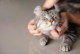 Fototapeta Zwierzęta - happy cat lovely comfortable sleeping by the woman stroking hand grip at . love to animals concept .